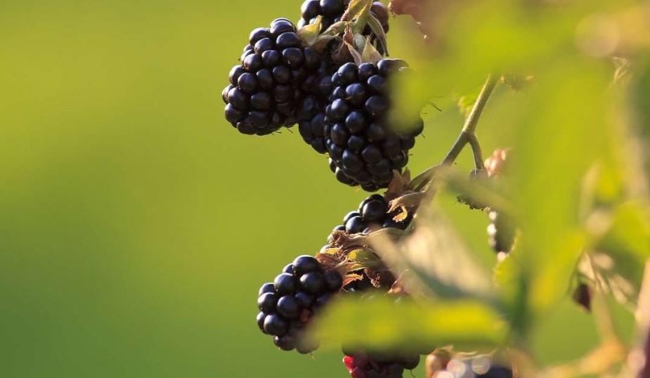 5 Fakta Unik Buah Blackberry