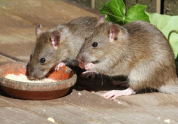 Berikut Cara Mudah dan Ampuh untuk Usir Tikus di Rumah