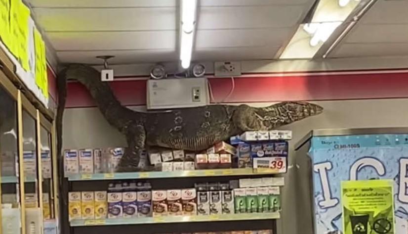 Biawak Raksasa Masuk Minimarket, Staf dan Pelanggan Panik