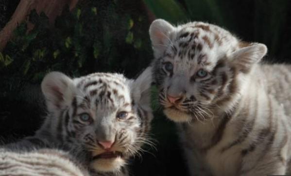Diduga Karena Covid-19, Dua Harimau Putih di Pakistan Mati