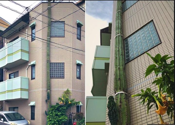 Kaktus Raksasa Tumbuh Lebih Tinggi dari Gedung Tiga Tingkat di Tokyo