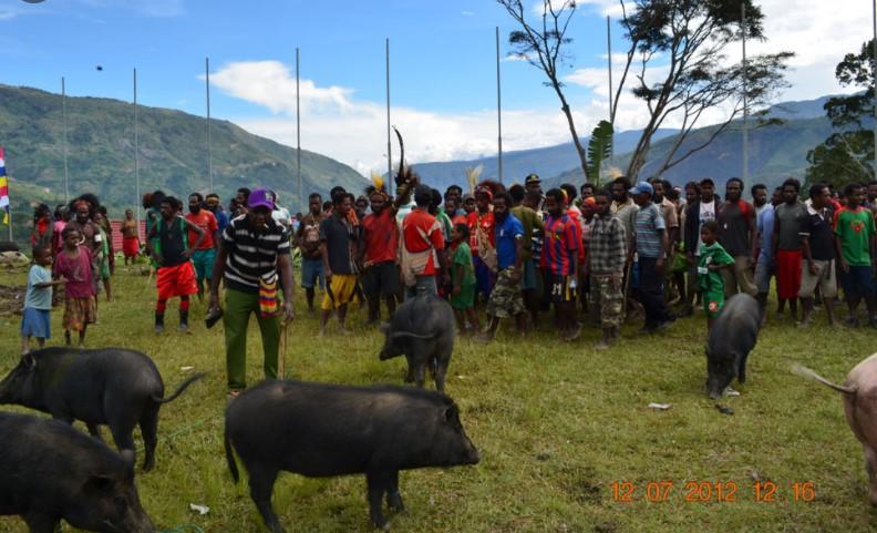Menabrak Babi di Papua Bisa Membuat Apes, Simak Perhitungan Ganti Ruginya