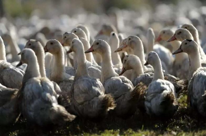 Prancis Musnahkan 600 Ribu Bebek untuk Redam Flu Burung