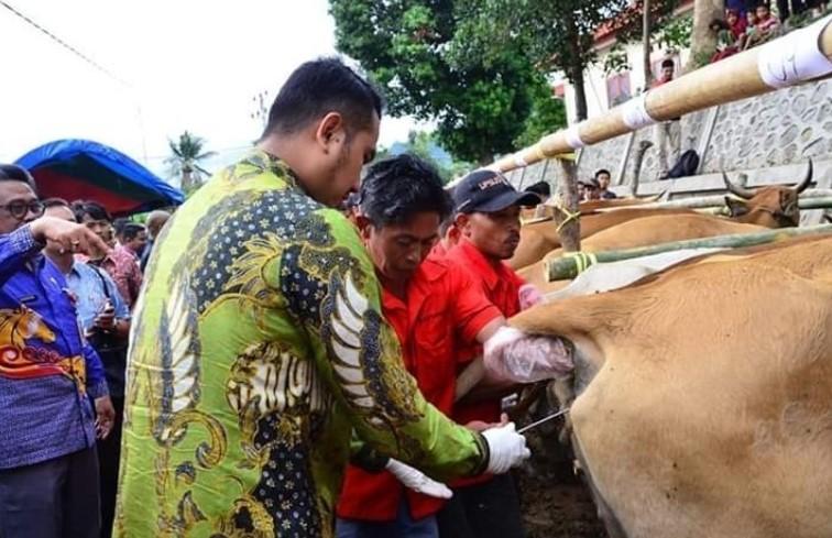 Prospek Peternakan Sapi Menjanjikan, Bupati Sinjai Gelontorkan Anggaran untuk Dukung Asuransi Usaha Ternak Sapi