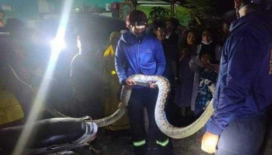 Tim Rescue Damkar Palopo Tangkap Ular Piton yang Makan Ternak Warga